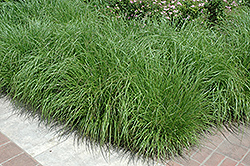 Fountain Grass (Pennisetum alopecuroides) at Oakland Nurseries Inc