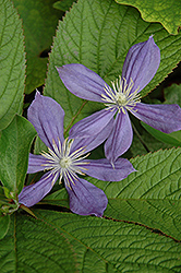Arabella Clematis (Clematis integrifolia 'Arabella') at Oakland Nurseries Inc