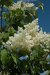 Ivory Silk Tree Lilac (tree form) (Syringa reticulata 'Ivory Silk (tree form)') at Oakland Nurseries Inc