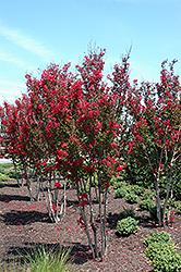 Red Rocket Crapemyrtle (Lagerstroemia indica 'Whit IV') at Oakland Nurseries Inc