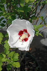 Red Heart Rose Of Sharon (Hibiscus syriacus 'Red Heart') at Oakland Nurseries Inc