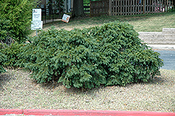 Spreading English Yew (Taxus baccata 'Spreading') at Oakland Nurseries Inc