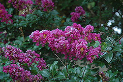 Zuni Crapemyrtle (Lagerstroemia 'Zuni') at Oakland Nurseries Inc