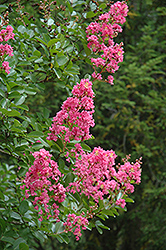 Hopi Crapemyrtle (Lagerstroemia 'Hopi') at Oakland Nurseries Inc