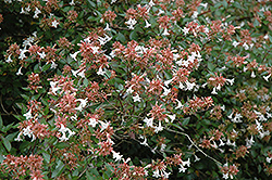Glossy Abelia (Abelia x grandiflora) at Oakland Nurseries Inc