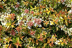 Kaleidoscope® Abelia (Abelia x grandiflora 'Kaleidoscope') at Oakland Nurseries Inc
