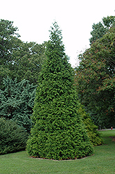 Green Giant Arborvitae (Thuja 'Green Giant') at Oakland Nurseries Inc