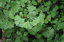 Mariken Dwarf Ginkgo (Ginkgo biloba 'Mariken') at Oakland Nurseries Inc