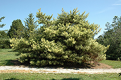 Dragon's Eye Japanese Red Pine (Pinus densiflora 'Oculus Draconis') at Oakland Nurseries Inc