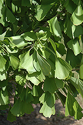 Saratoga Ginkgo (Ginkgo biloba 'Saratoga') at Oakland Nurseries Inc
