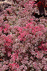 Rosy Glow Stonecrop (Sedum 'Rosy Glow') at Oakland Nurseries Inc