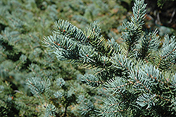 White Spruce (Picea glauca) at Oakland Nurseries Inc