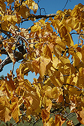 American Linden (Tilia americana) at Oakland Nurseries Inc