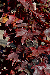 Crimson Sunset Maple (Acer 'JFS-KW202') at Oakland Nurseries Inc