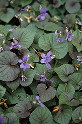 Wood Violet (Viola odorata) at Oakland Nurseries Inc