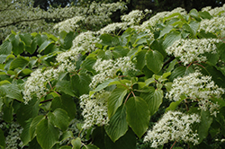 Giant Dogwood (Cornus controversa) at Oakland Nurseries Inc