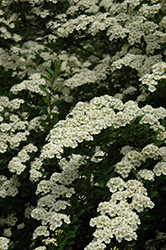 Snowmound Spirea (Spiraea nipponica 'Snowmound') at Oakland Nurseries Inc