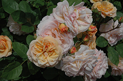 Charles Austin Rose (Rosa 'Charles Austin') at Oakland Nurseries Inc