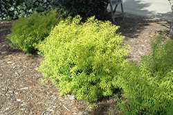 Mellow Yellow Spirea (Spiraea thunbergii 'Mellow Yellow') at Oakland Nurseries Inc