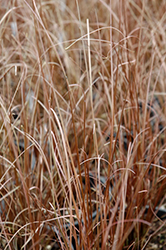 Red Rooster Sedge (Carex buchananii 'Red Rooster') at Oakland Nurseries Inc