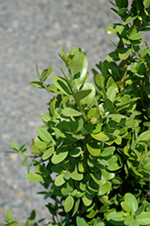 Green Tower® Boxwood (Buxus sempervirens 'Monrue') at Oakland Nurseries Inc