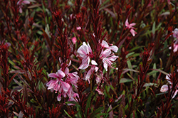 Passionate Blush Gaura (Gaura lindheimeri 'Passionate Blush') at Oakland Nurseries Inc