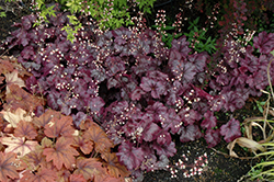 Plum Royale Coral Bells (Heuchera 'Plum Royale') at Oakland Nurseries Inc