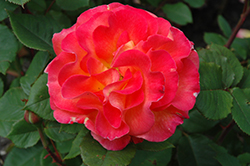 Mardi Gras Rose (Rosa 'Mardi Gras') at Oakland Nurseries Inc