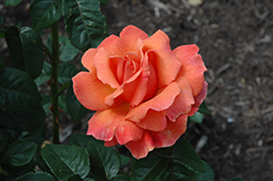 Easy Does It Rose (Rosa 'Easy Does It') at Oakland Nurseries Inc