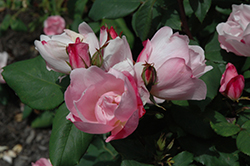 Blushing Knock Out® Rose (Rosa 'Radyod') at Oakland Nurseries Inc