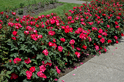 Knock Out® Rose (Rosa 'Radrazz') at Oakland Nurseries Inc