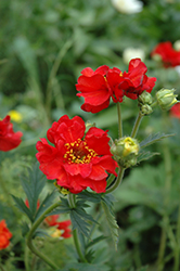 Mrs. Bradshaw Avens (Geum 'Mrs. Bradshaw') at Oakland Nurseries Inc