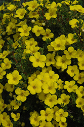 Gold Drop Potentilla (Potentilla fruticosa 'Gold Drop') at Oakland Nurseries Inc