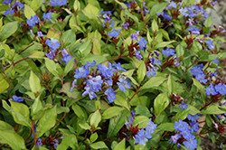 Plumbago (Ceratostigma plumbaginoides) at Oakland Nurseries Inc