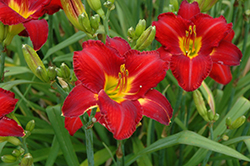Chicago Apache Daylily (Hemerocallis 'Chicago Apache') at Oakland Nurseries Inc