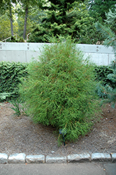 Franky Boy Arborvitae (Thuja orientalis 'Franky Boy') at Oakland Nurseries Inc