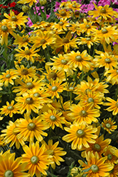 Prairie Sun Coneflower (Rudbeckia hirta 'Prairie Sun') at Oakland Nurseries Inc