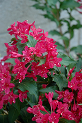 Sonic Bloom Red® Reblooming Weigela (Weigela florida 'Verweig 6') at Oakland Nurseries Inc