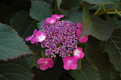 Tuff Stuff™ Hydrangea (Hydrangea serrata 'MAK20') at Oakland Nurseries Inc