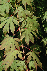 North Wind® Japanese Maple (Acer 'IsINW') at Oakland Nurseries Inc