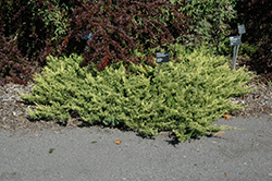 Lime Glow Juniper (Juniperus horizontalis 'Lime Glow') at Oakland Nurseries Inc