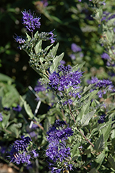 First Choice Caryopteris (Caryopteris x clandonensis 'First Choice') at Oakland Nurseries Inc