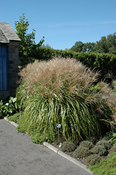 Huron Sunrise Maiden Grass (Miscanthus sinensis 'Huron Sunrise') at Oakland Nurseries Inc