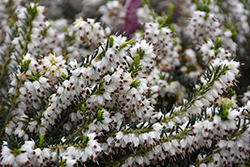 Mediterranean White Heath (Erica x darleyensis 'Mediterranean White') at Oakland Nurseries Inc