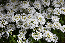Snowflake Candytuft (Iberis sempervirens 'Snowflake') at Oakland Nurseries Inc