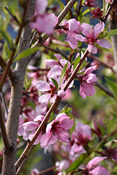 Elberta Peach (Prunus persica 'Elberta') at Oakland Nurseries Inc