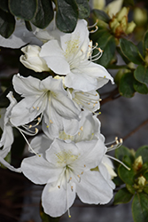 Delaware Valley White Azalea (Rhododendron 'Delaware Valley White') at Oakland Nurseries Inc