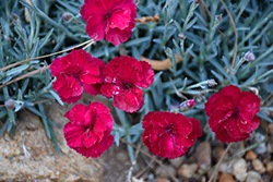 Frosty Fire Pinks (Dianthus 'Frosty Fire') at Oakland Nurseries Inc