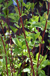 Bailey Red-Twig Dogwood (Cornus baileyi) at Oakland Nurseries Inc