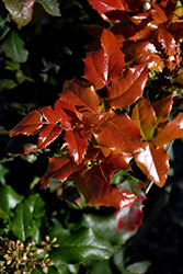 Orange Flame Oregon Grape (Mahonia aquifolium 'Orange Flame') at Oakland Nurseries Inc